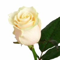 273_roza-vendella