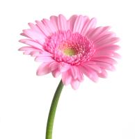 Gerbera_pink