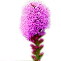 liatris-koloskovyi-liatris-spicata(1)2 (1)