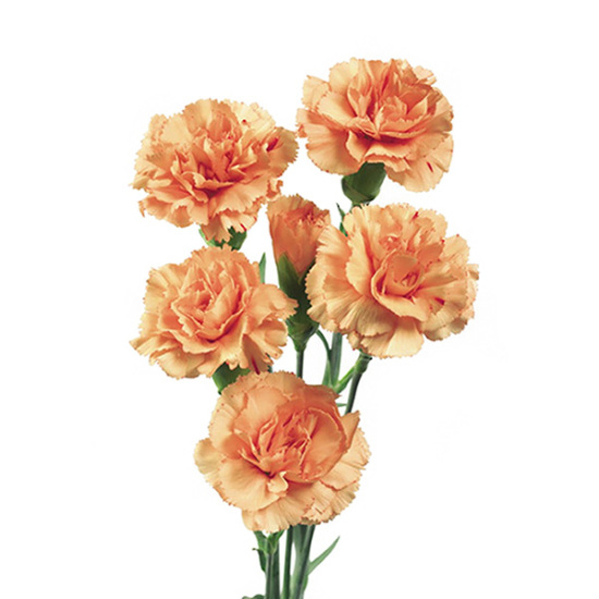 orange_spray_carnation_0_0