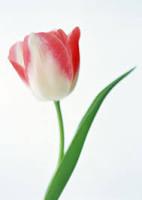 тюльп роз